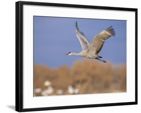 Sandhill Crane in Flight, Bosque Del Apache National Park, NM, USA-Rolf Nussbaumer-Framed Art Print