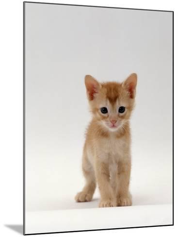 Domestic Cat, 'Pansy's' 5-Week Red Kitten-Jane Burton-Mounted Photographic Print