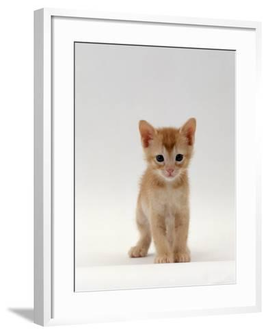 Domestic Cat, 'Pansy's' 5-Week Red Kitten-Jane Burton-Framed Art Print