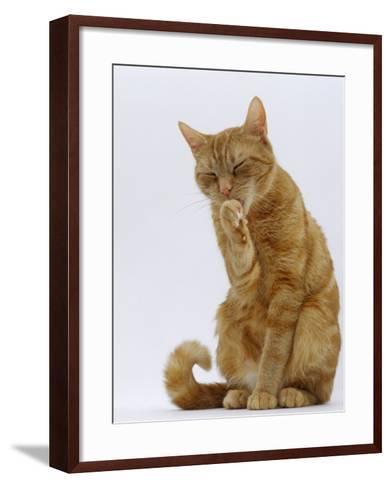 Domestic Cat, Ginger Tabby Female Sitting Licking Front Paw-Jane Burton-Framed Art Print