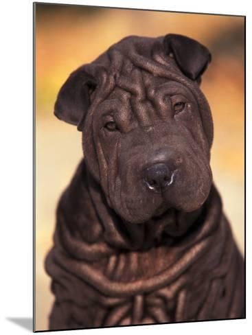 Black Shar Pei Puppy Portrait Showing Wrinkles Face and Chest-Adriano Bacchella-Mounted Photographic Print