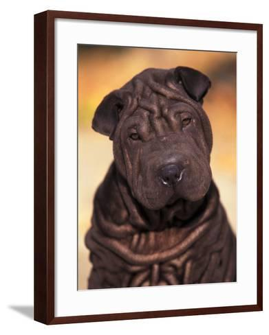 Black Shar Pei Puppy Portrait Showing Wrinkles Face and Chest-Adriano Bacchella-Framed Art Print