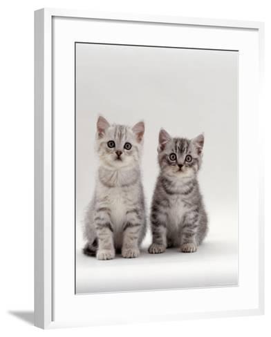 Domestic Cat, 7-Week, Two Silver Kittens-Jane Burton-Framed Art Print