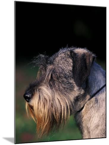 Miniature Schnauzer Profile-Adriano Bacchella-Mounted Photographic Print