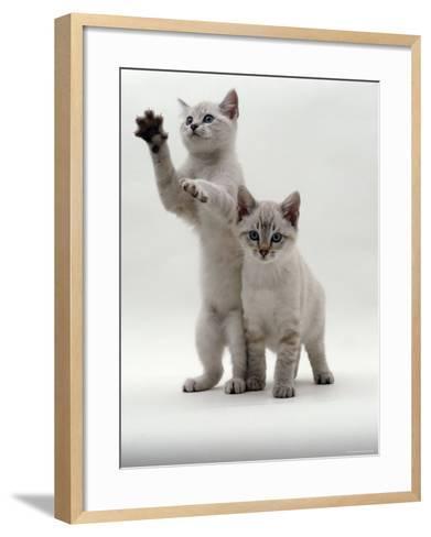 Domestic Cat, Two Blue-Eyed Sepia Snow Bengal Kittens, One Reaching Up-Jane Burton-Framed Art Print