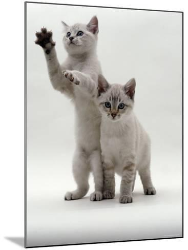 Domestic Cat, Two Blue-Eyed Sepia Snow Bengal Kittens, One Reaching Up-Jane Burton-Mounted Photographic Print
