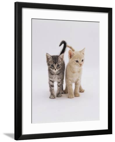 Domestic Cat (Felis Catus) 8-Week-Old Kittens-Jane Burton-Framed Art Print