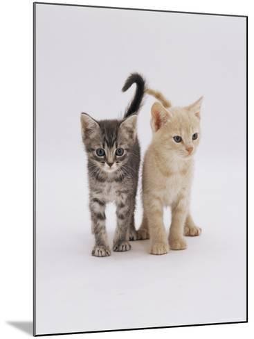 Domestic Cat (Felis Catus) 8-Week-Old Kittens-Jane Burton-Mounted Photographic Print