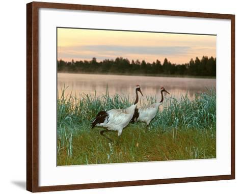 Japanese / Red-Crowned Crane Pair, Khingansky Zapovednik, Russia-Igor Shpilenok-Framed Art Print