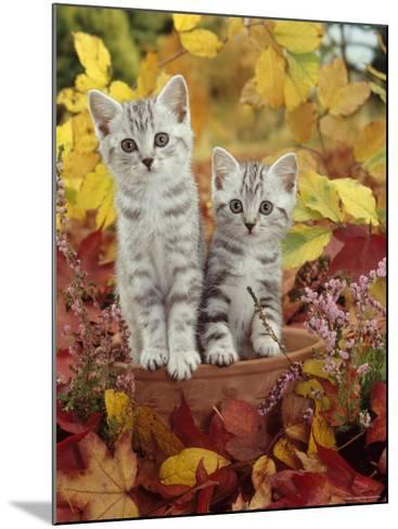 Domestic Cat, 8-Week, Silver Tabby Kittens Among Heather and Autumnal Leaves-Jane Burton-Mounted Photographic Print
