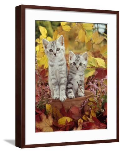 Domestic Cat, 8-Week, Silver Tabby Kittens Among Heather and Autumnal Leaves-Jane Burton-Framed Art Print