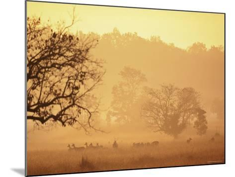 Chital Deer (Axis Axis) at Dawn, Kanha National Park, Madhya Pradesh, India-Pete Oxford-Mounted Photographic Print