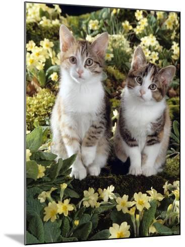 Tabby-Tortoiseshell-And White Kittens, 11-Week Sisters, Among Pink and Yellow Primroses-Jane Burton-Mounted Photographic Print