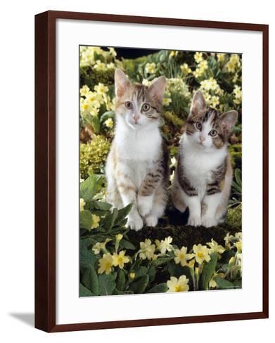 Tabby-Tortoiseshell-And White Kittens, 11-Week Sisters, Among Pink and Yellow Primroses-Jane Burton-Framed Art Print