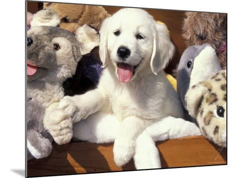 Golden Retriever Puppy with Toys-Lynn M^ Stone-Mounted Photographic Print
