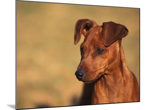 Miniature Pinscher Portrait-Adriano Bacchella-Mounted Photographic Print