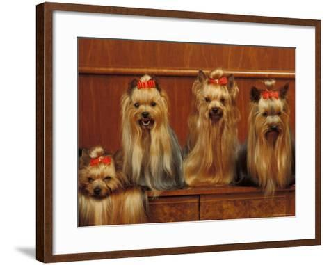Domestic Dogs, Four Yorkshire Terriers Sitting / Lying Down-Adriano Bacchella-Framed Art Print