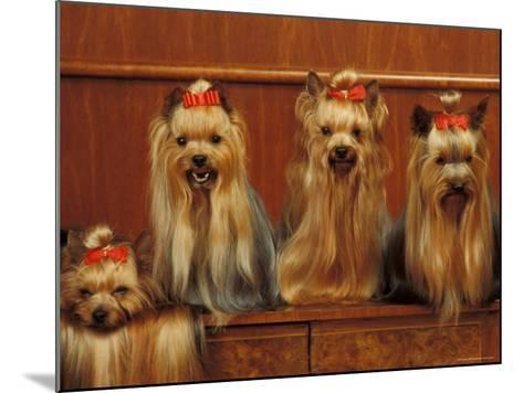 Domestic Dogs, Four Yorkshire Terriers Sitting / Lying Down-Adriano Bacchella-Mounted Photographic Print
