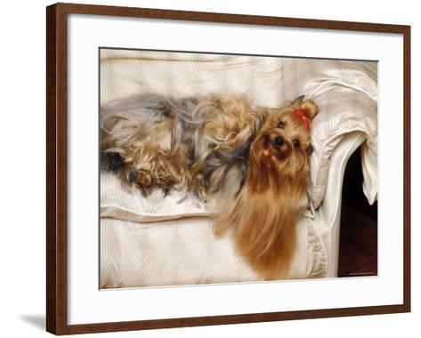 Yorkshire Terrier Lying on Couch-Adriano Bacchella-Framed Art Print