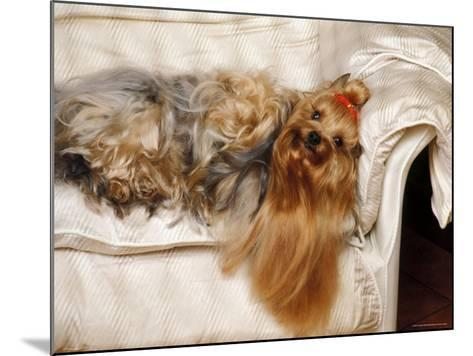 Yorkshire Terrier Lying on Couch-Adriano Bacchella-Mounted Photographic Print