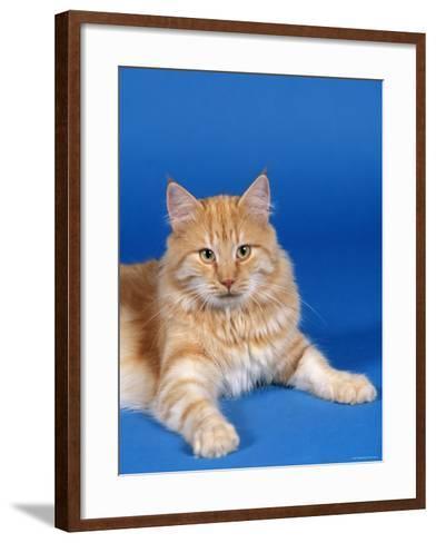 Ginger Norwegian Forest Cat-Petra Wegner-Framed Art Print