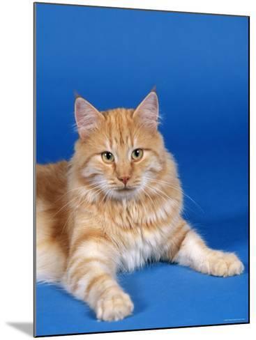 Ginger Norwegian Forest Cat-Petra Wegner-Mounted Photographic Print