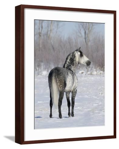 Rear View of Grey Andalusian Stallion Standing in Snow, Longmont, Colorado, USA-Carol Walker-Framed Art Print
