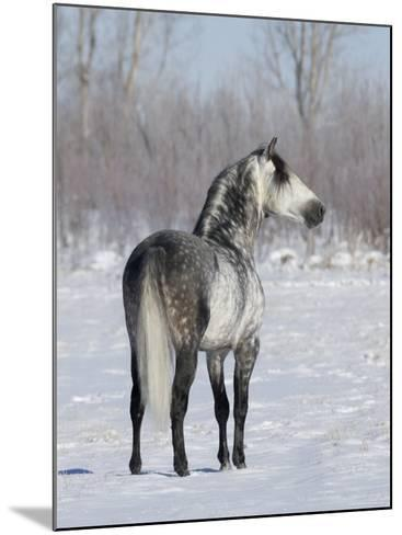 Rear View of Grey Andalusian Stallion Standing in Snow, Longmont, Colorado, USA-Carol Walker-Mounted Photographic Print