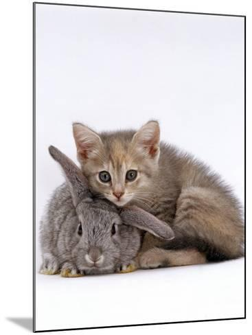 Domestic Cat, Silver Tortoiseshell Kitten with Silver Dwarf Lop Eared Rabbit-Jane Burton-Mounted Photographic Print