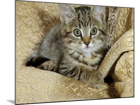 Domestic Cat, Female Tabby Kitten on Chair-Jane Burton-Mounted Photographic Print