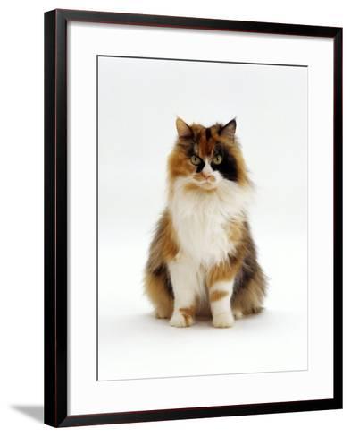 Domestic Cat, Tortoiseshell and White Female Sitting-Jane Burton-Framed Art Print