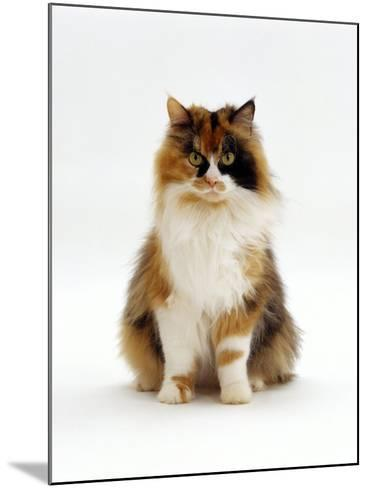 Domestic Cat, Tortoiseshell and White Female Sitting-Jane Burton-Mounted Photographic Print