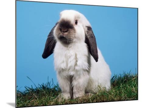 Lop-Eared Dwarf Rabbit-Petra Wegner-Mounted Photographic Print