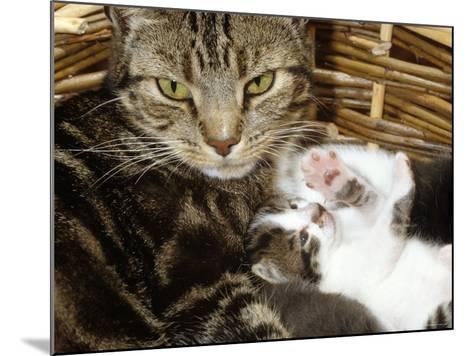 Domestic Cat, 2-Week Tabby and White Kitten Plays with Her Mother's Whiskers in Basket-Jane Burton-Mounted Photographic Print