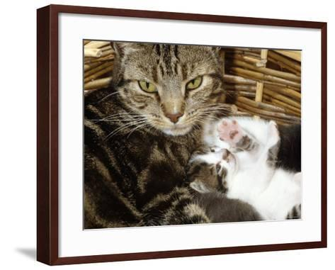 Domestic Cat, 2-Week Tabby and White Kitten Plays with Her Mother's Whiskers in Basket-Jane Burton-Framed Art Print