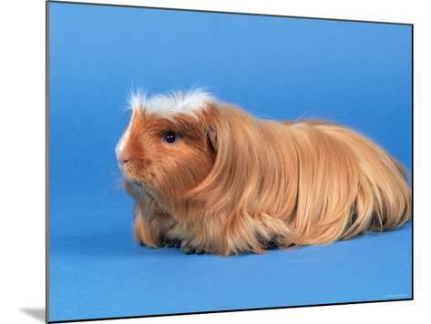 Satin Gold American Crested Coronet Guinea Pig-Petra Wegner-Mounted Photographic Print