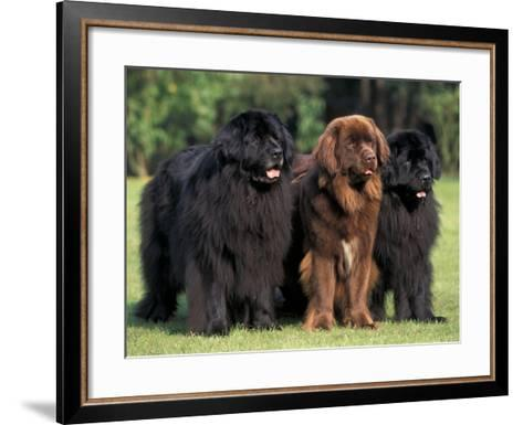 Domestic Dogs, Three Newfoundland Dogs Standing Together-Adriano Bacchella-Framed Art Print