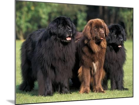 Domestic Dogs, Three Newfoundland Dogs Standing Together-Adriano Bacchella-Mounted Photographic Print