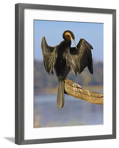 African Darter Preening Wings, Chobe National Park, Botswana-Tony Heald-Framed Art Print