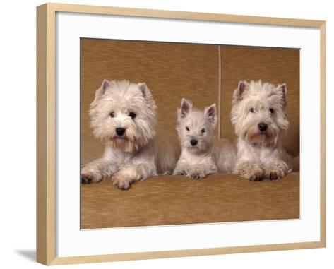 Domestic Dogs, Two West Highland Terriers / Westies with a Puppy-Adriano Bacchella-Framed Art Print