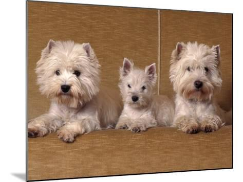 Domestic Dogs, Two West Highland Terriers / Westies with a Puppy-Adriano Bacchella-Mounted Photographic Print