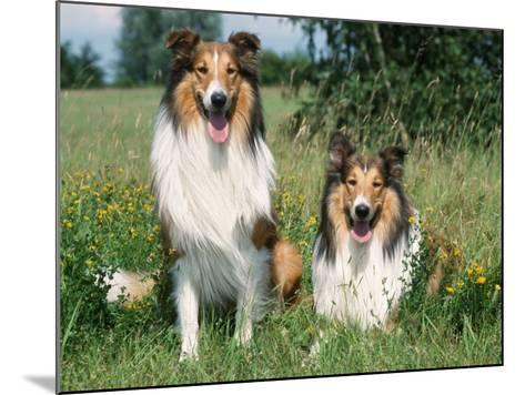 Two Collie Dogs-Petra Wegner-Mounted Photographic Print