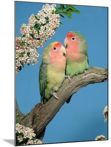 Pair of Peach-Faced Lovebirds-Petra Wegner-Mounted Photographic Print