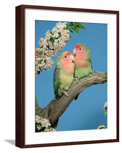 Pair of Peach-Faced Lovebirds-Petra Wegner-Framed Art Print