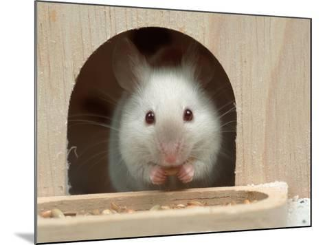 White Mouse in Hutch-Petra Wegner-Mounted Photographic Print