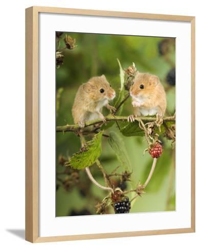 Two Harvest Mice Perching on Bramble with Blackberries, UK-Andy Sands-Framed Art Print