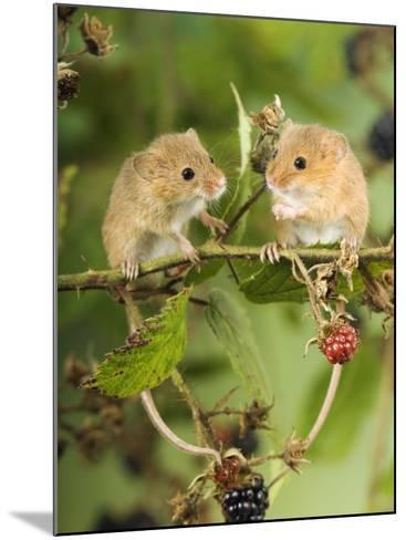 Two Harvest Mice Perching on Bramble with Blackberries, UK-Andy Sands-Mounted Photographic Print