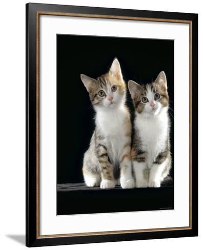 Domestic Cat, Two 8-Week Tabby Tortoiseshell and White Kittens-Jane Burton-Framed Art Print