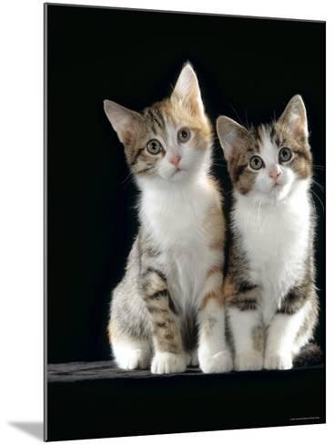 Domestic Cat, Two 8-Week Tabby Tortoiseshell and White Kittens-Jane Burton-Mounted Photographic Print