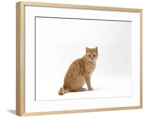 Domestic Cat, Cream British Shorthair Male Sitting-Jane Burton-Framed Art Print